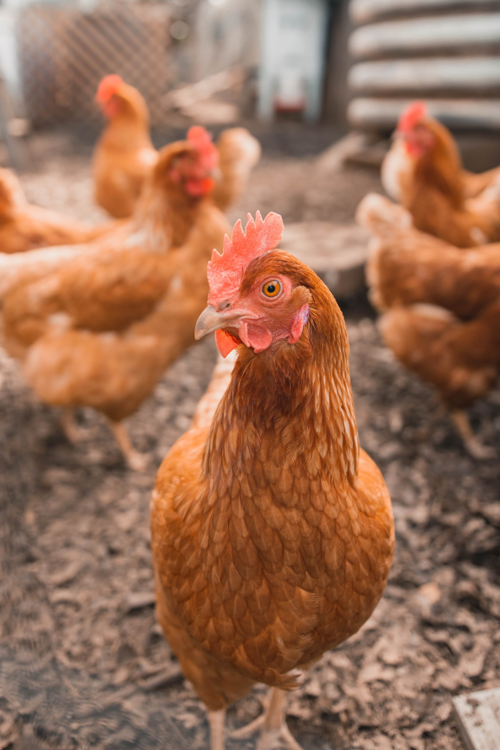 USDA potential rule change allowing processing of chickens with Avian Leukosis for human consumption