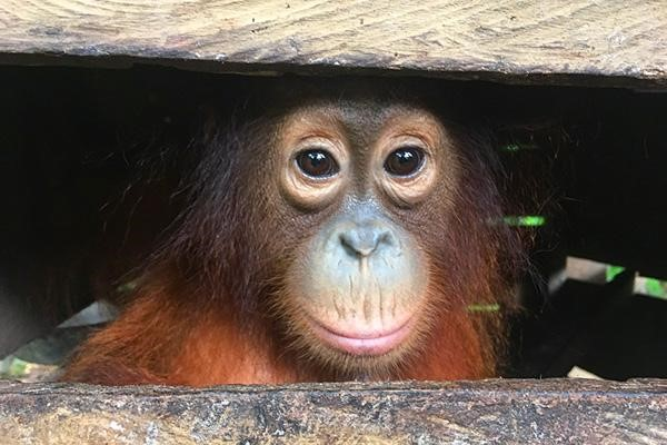 The Orangutan Project Poised to Secure Survival of Rehabilitated Bornean Orangutans with Newly Protected Habitat